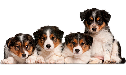 border-collie-puppies.png